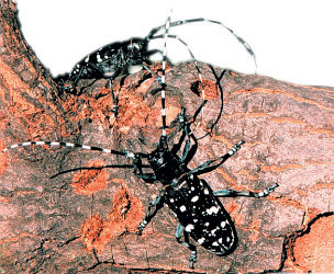 asian long horn beetle